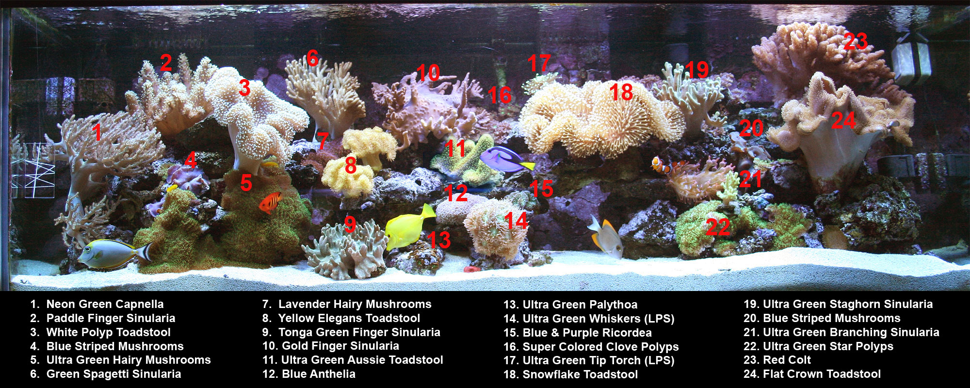 ultra green star polyps soft coral tank raised soft coral aquacorals