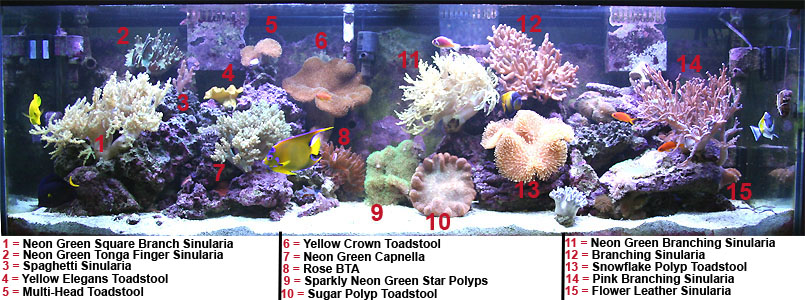 Multi Head Toadstool Soft Coral Tank Raised Soft Coral
