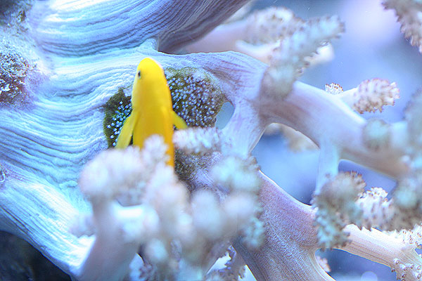 Yellow clown goby reef safe goby fish for sale at for Reef fish for sale