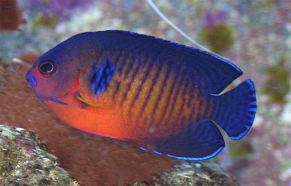 Coral Beauty Angel Reef Safe Pygmy Angel Fish For Sale