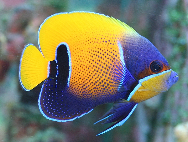 majestic angel reef safe angel fish for sale at aquacorals