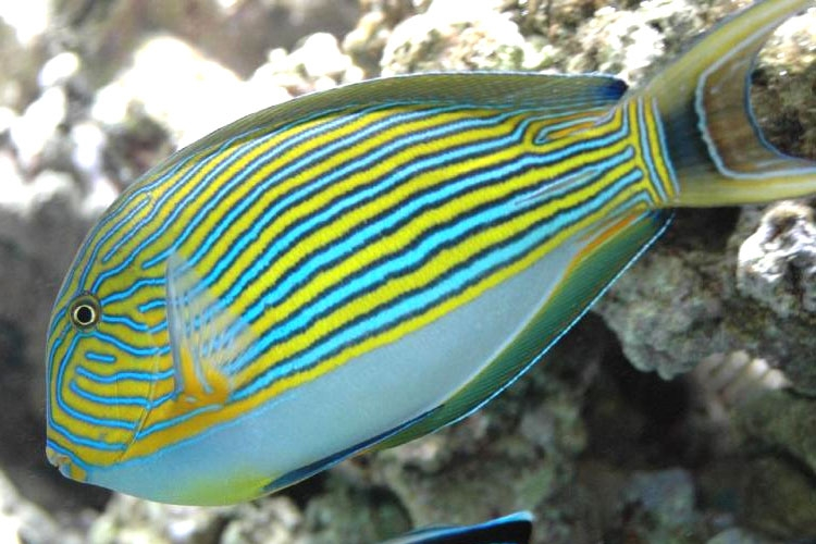 Clown tang reef safe fish for sale at aquacorals for Reef fish for sale