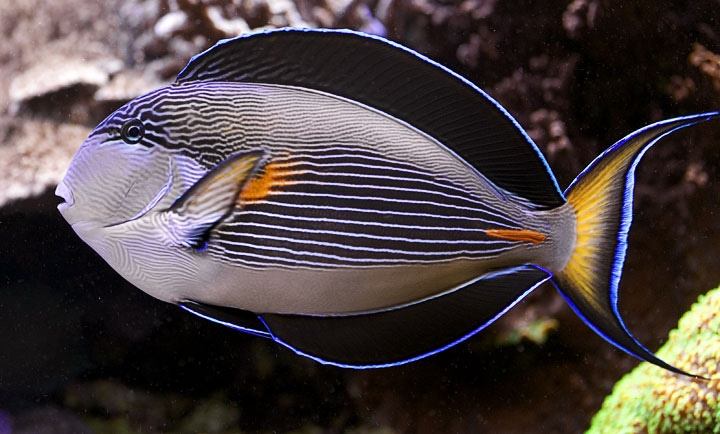 Sohal Red Sea Clown Tang For Sale At Aquacorals