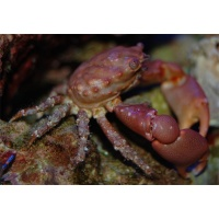 crab-redmithrax