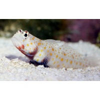 goby-orgspotted