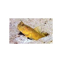 goby-watchman-yellow