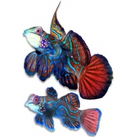 mandarin-blue-pair_556554638