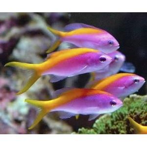 Carberryi anthias threadfin goldie anthias reef safe for Reef fish for sale